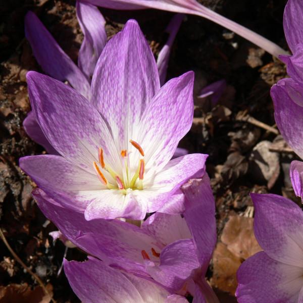Colchicum bivonae Vesta