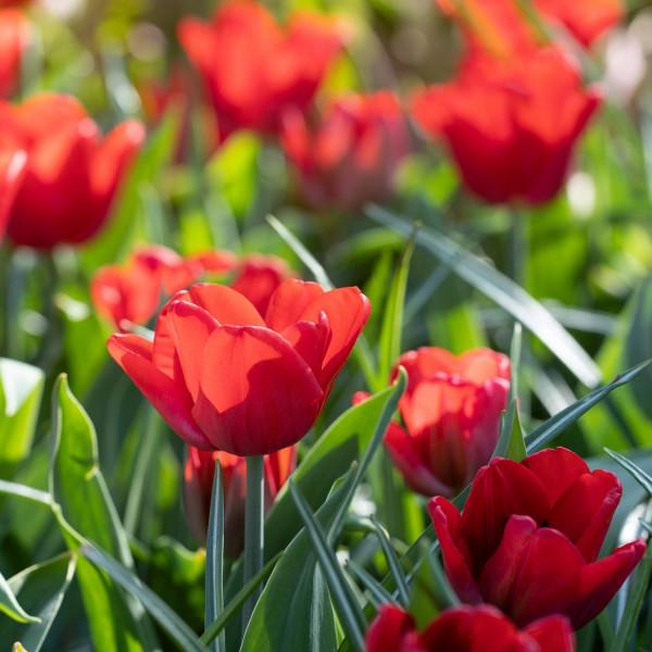 Tulipa Ruby Prince