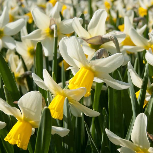 Narcissus cyclamineus Jack Snipe