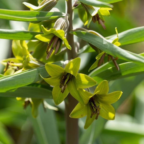 Fritillaria sewerzowii Green Eyes