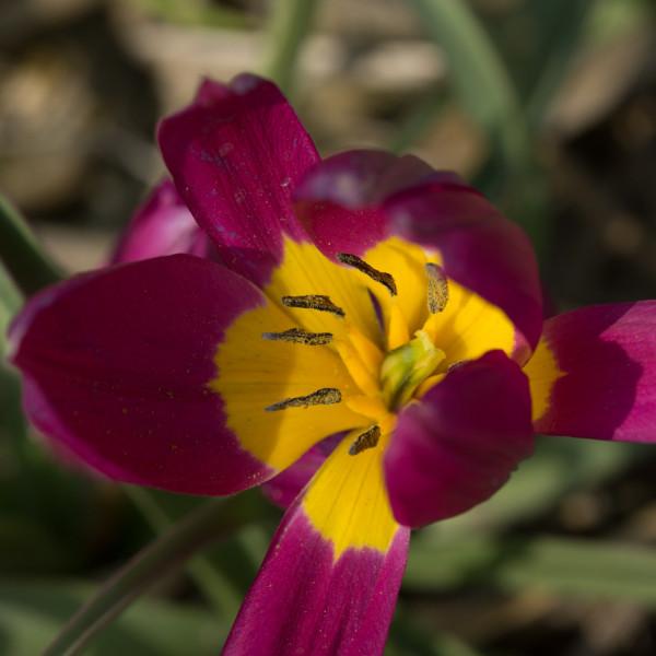 Tulipa humilis Eastern Star