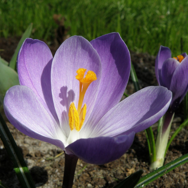 Crocus vernus Grand Maitré