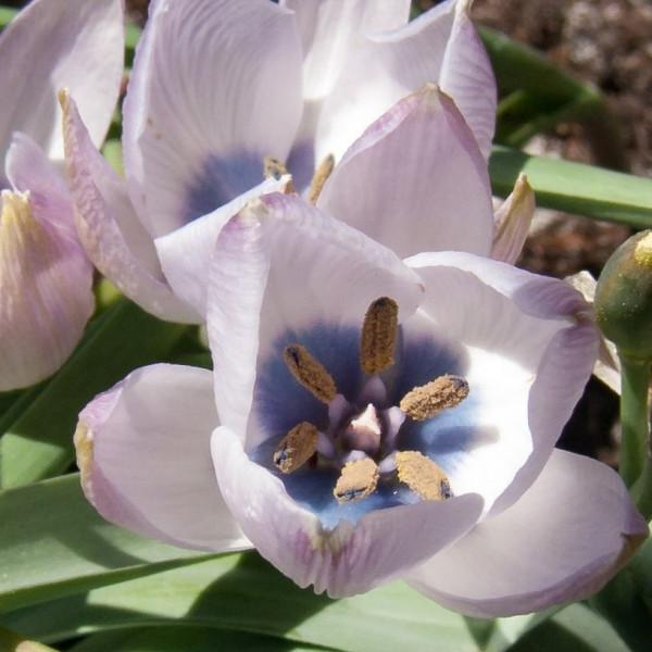 Tulipa humilis alba coeruela oculata Rosea
