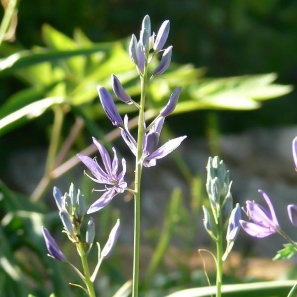 Camassia quamasch ssp. esculenta