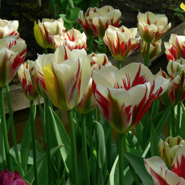 Tulipa Flaming Springgreen