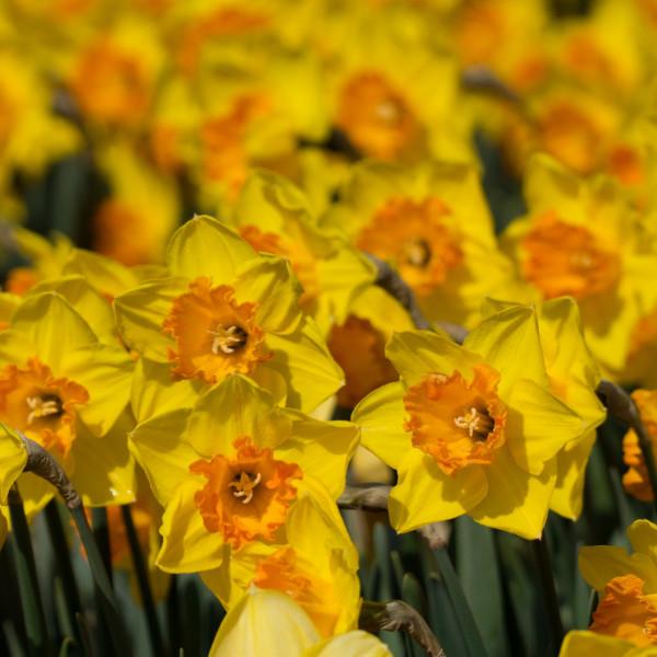 Narcissus Ipi Tombi
