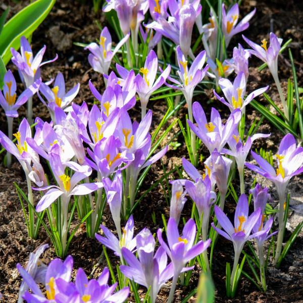 Crocus tommasinianus Barr´s Purple