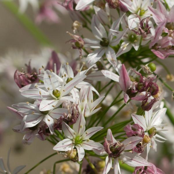 Allium Cameleon®