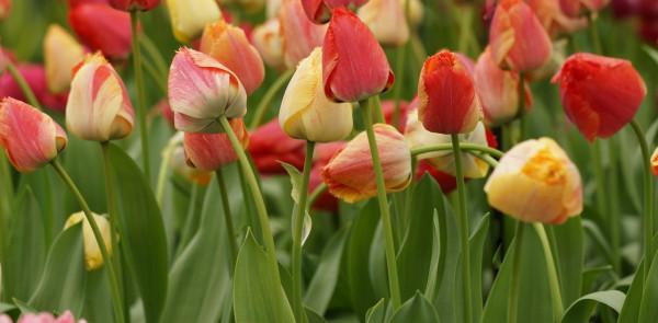 Tulipa Fringed Rhapsody