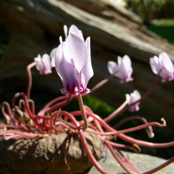 Cyclamen hederifolium var. neapolitanum