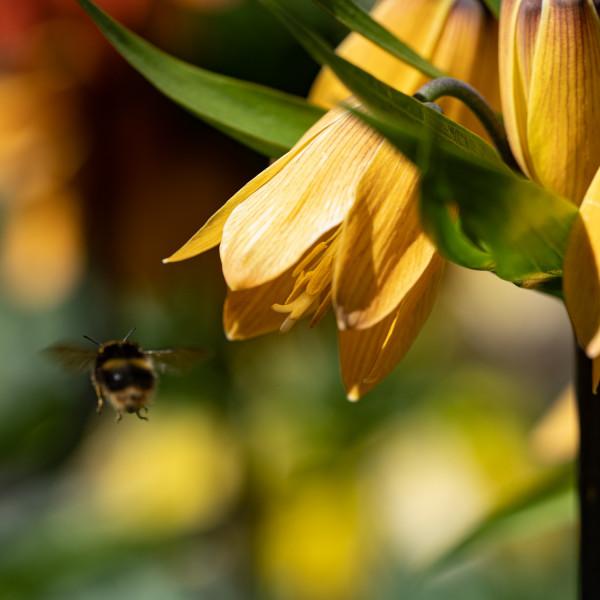 Fritillaria Paradise Beauty