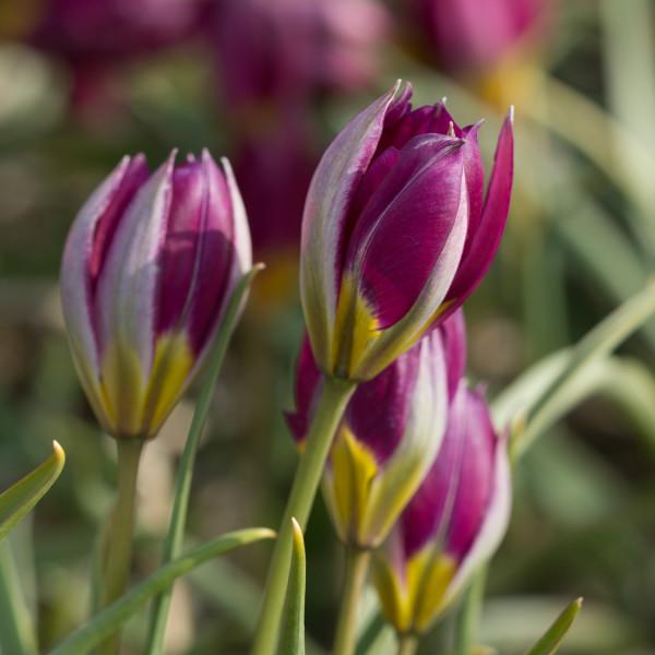 Tulipa humilis Persian Perl