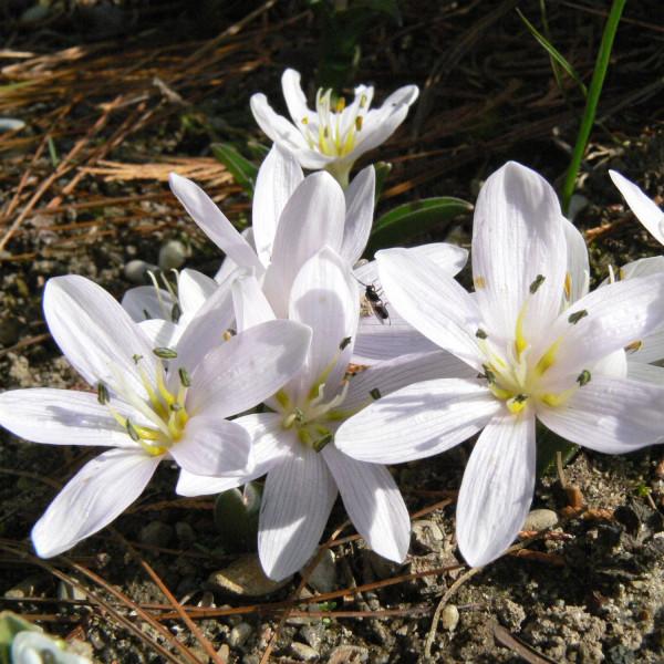 Colchicum hungaricum Velebit Star