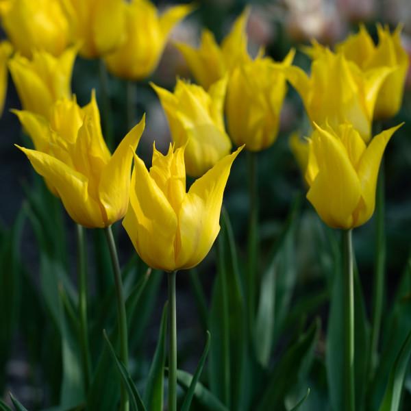 Tulipa La Perla