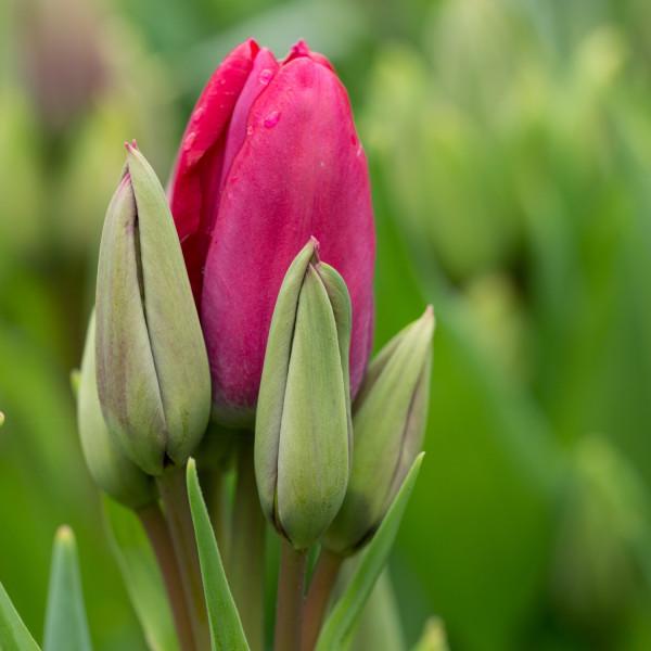 Tulipa Fiery Club