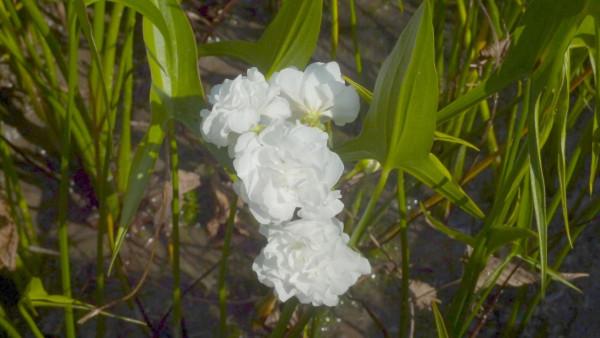 Sagittaria latifolia Plena