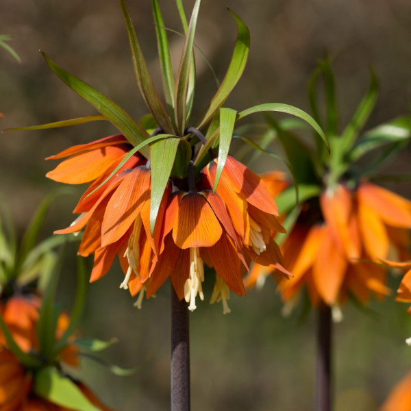 Fritillaria imperialis Orange Beauty