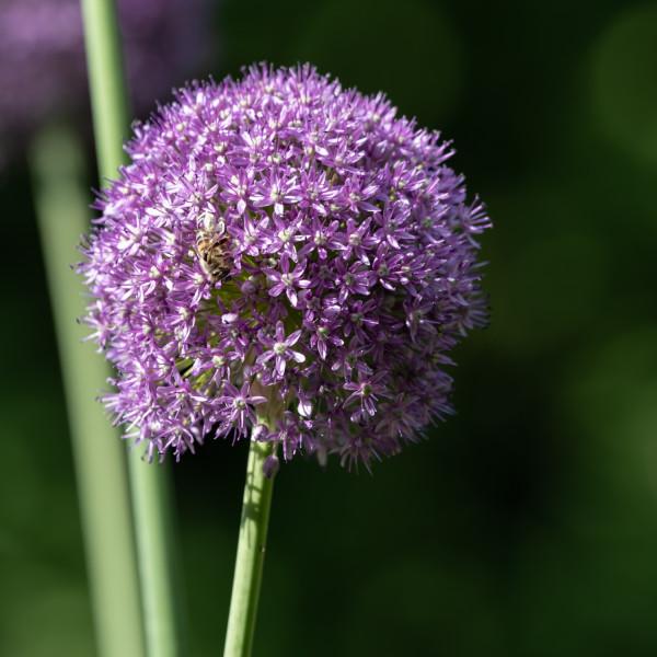 Allium Okra