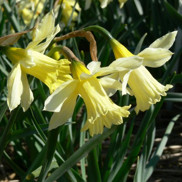 Narcissus W. P. Millner, 1896