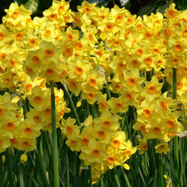 Narcissus jonquilla  Martinette