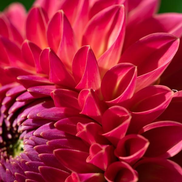 Dahlia Pink Suffusion