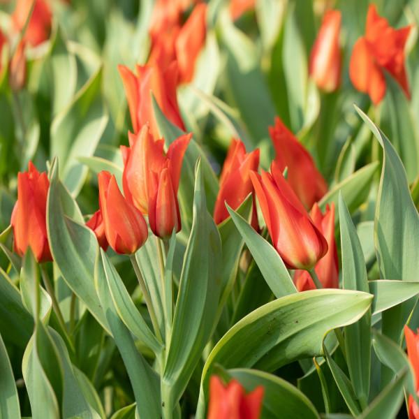 Tulipa praestans Bloemenlust