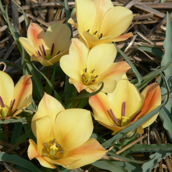 Tulipa batalinii Bronce Charm