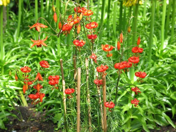 Lilium pumilum (=tenuifolium )
