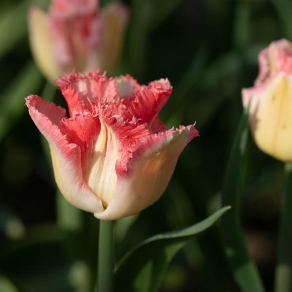 Tulipa Lingerie