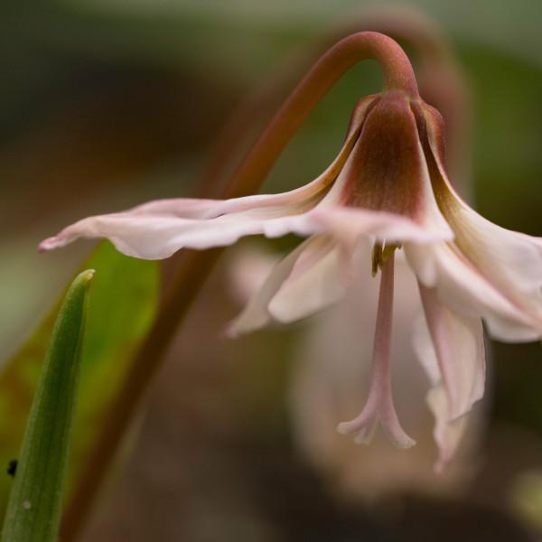 Erythronium denscanis