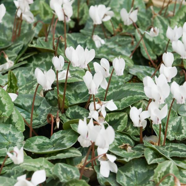 Cyclamen hederifolium album