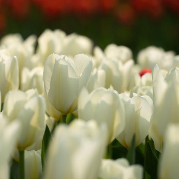 Tulipa fosteriana Purissima