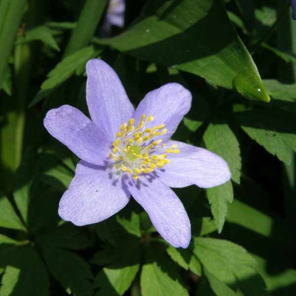 Anemone nemorosa Royal Blue