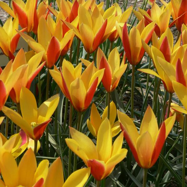 Tulipa clusiana Tubergen Gem