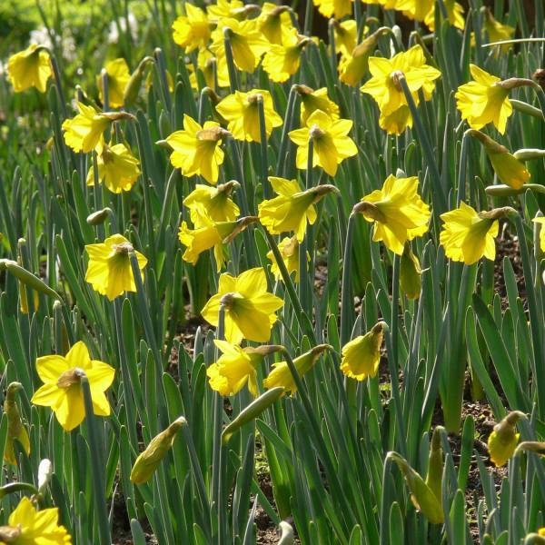 Narcissus pseudonarcissus ssp.obvallaris