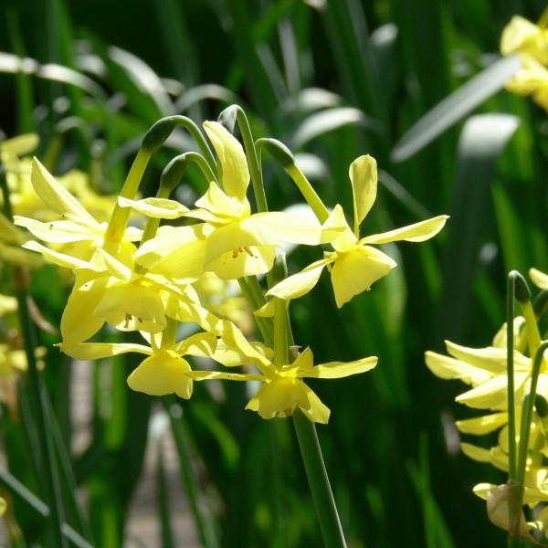 Narcissus triandrus Hawera